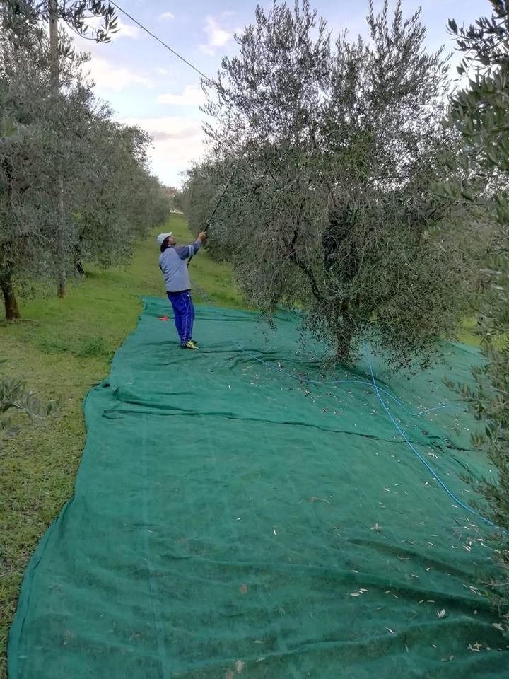 Olive 7